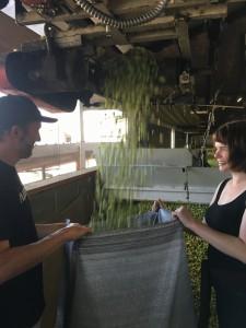 bagging-fresh-hops